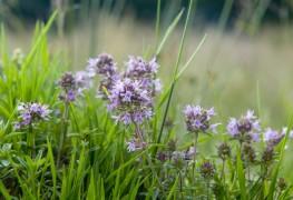 8 avantages de la culture du thym dans nos jardins