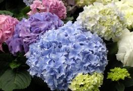 Cultiver des hortensias sans soucis
