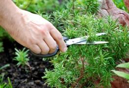 Découvrez 5 herbes qui se plantent bien dans les jardins vivaces