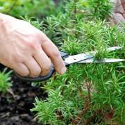 Cultivez la marjolaine et l'origan à la maison !