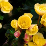 Plants de bégonias: 4 choses à savoir