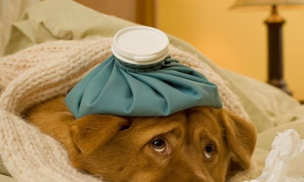 comment traiter la grippe et le rhume chez le chien trucs pratiques. Black Bedroom Furniture Sets. Home Design Ideas
