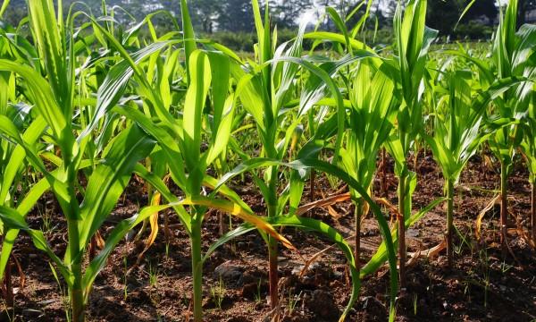 Culture du maïs: 5 recommandations pour une bonne récolte