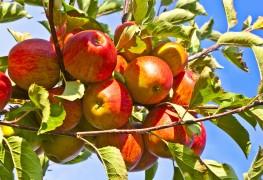 7 conseils pour faire pousser, tailler et récolter les pommiers