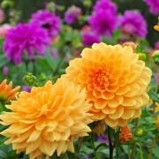 10 conseils simples pour planter et prendre soin des dahlias
