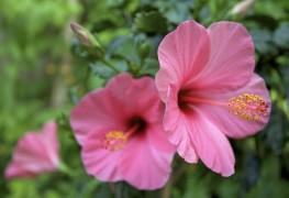Tout ce que vous devez savoir sur la culture de l'hibiscus
