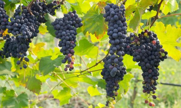 7 choses à savoir sur la culture du raisin