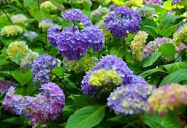 5 conseils pour faire pousser des hortensias