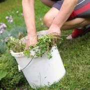 Identifier les mauvaises herbes et le gui dans son jardin