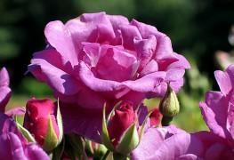 Planter un jardin de fleurs comestibles: un mini guide