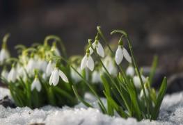 4 conseils pour faire pousser des sublimes perce-neige