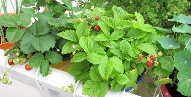 cultiver des fraises en quelques 233 simples trucs pratiques