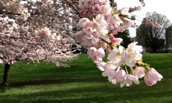 Où admirer les cerisiers en fleurs ce printemps à Vancouver