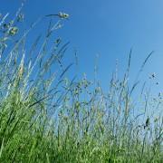 8 variétés d'herbe qui peuvent pousser sous vos pieds