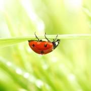 Votre guide d'utilisation des coccinelles pour lutter contre les parasites dans votre jardin
