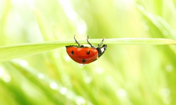 votre guide d 39 utilisation des coccinelles pour lutter contre les parasites dans votre jardin. Black Bedroom Furniture Sets. Home Design Ideas