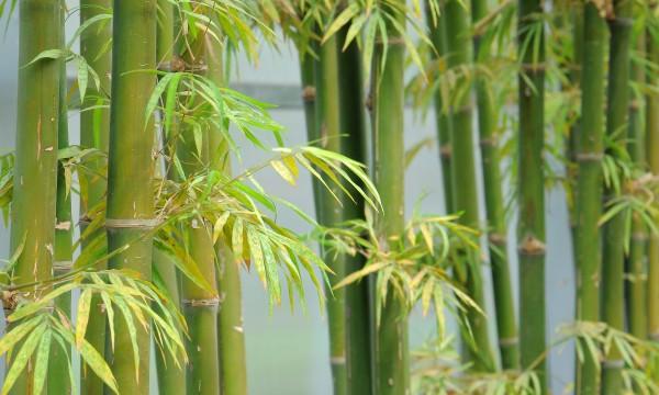 votre guide pour faire pousser du bambou trucs pratiques. Black Bedroom Furniture Sets. Home Design Ideas