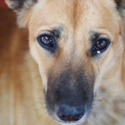 Comment reconnaître les symptômes d'allergies chez les chiens