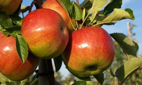 Comment tailler vos arbres pour de meilleures pommes