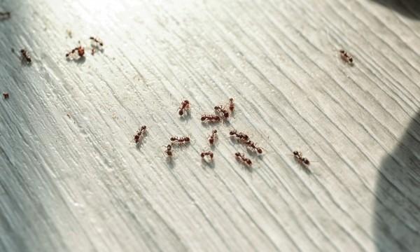 5 conseils pour vous débarrasser des fourmis dans la maison