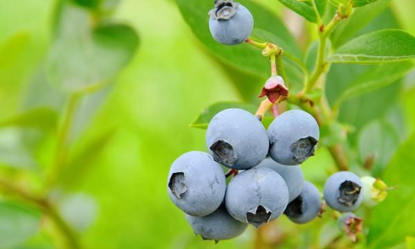 Comment planter et entretenir un arbuste fruitier