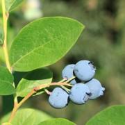 Comment s'occuper d'arbustes fruitiers en 4 étapes