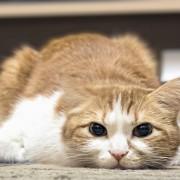 Pour quelle raison votre chat a-t-il des nausées et que faire?