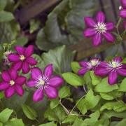 Apprenez à choisir la meilleure clématite à grandes fleurs