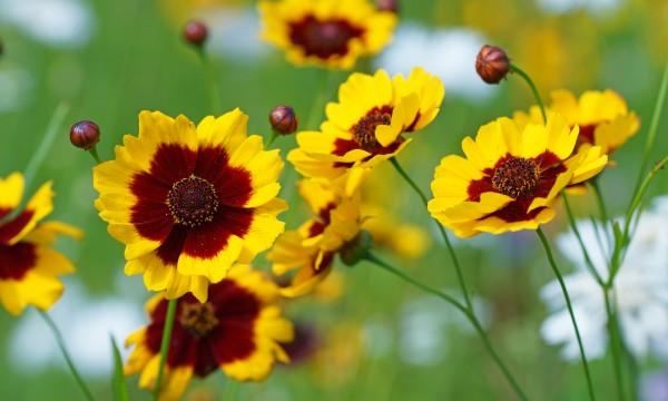 Conseils de base pour cultiver descoréopsis