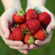 Cultiver des fraises en quelques étapes simples