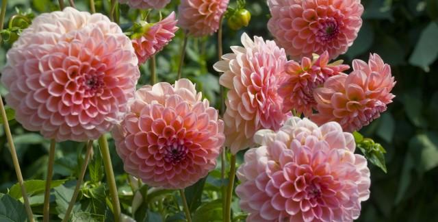 Comment planter de belles dahlias