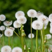Bannir lesmauvaises herbes de votre pelouse
