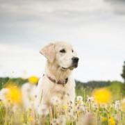 Pour ou contre les injections pour guérir les allergies de votre chien