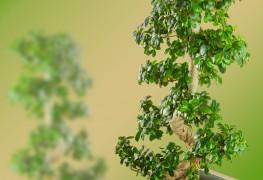 Apprendre à tailler à la mainvotre arbre nain
