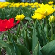 Comment planter et propager des bulbes de fleurs