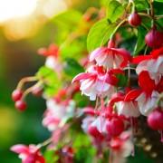 4 astuces pour planter des fuchsiassains et florissants