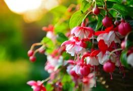 4 astuces pour planter des fuchsias sains et florissants