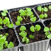 Cultiver les boutures dans votre pépinière