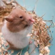 Nourriture faite maison pour colibris, cochons d'indeet hamsters
