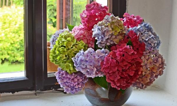 5 vari t s d hortensias mieux conna tre trucs pratiques - Maladie des hortensias photos ...
