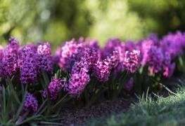 Faites pousser de belles jacinthes des bois dans votre jardin du printemps