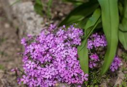 Des vivaces sans tracas pour le printemps: le Phlox divaricata