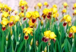 6 conseils pour avoir de magnifiques iris dans votre jardin