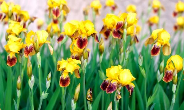 6 conseils pour avoir de magnifiques iris dans votre. Black Bedroom Furniture Sets. Home Design Ideas
