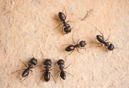 Comment détecter la présence de fourmis charpentières et s'en débarrasser