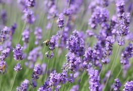 7 faits que tout jardinier doit connaître à propos de la lavande