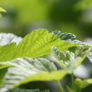 Lutter contre les maladies de jardin: le mildiou et le feu bactérien