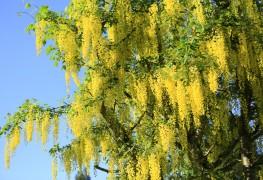 10 arbres décoratifs à planter près de chez vous
