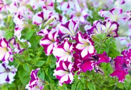 5 conseils pour faire pousser de jolis pétunias