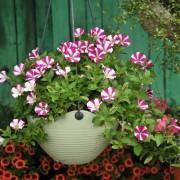 Une touche de couleur instantanée: 16 plantes qui poussent bien dans des pots, sans soins